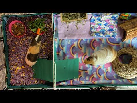 Guinea Pig Cage Tour / Fleece & C&c Midwest Cage