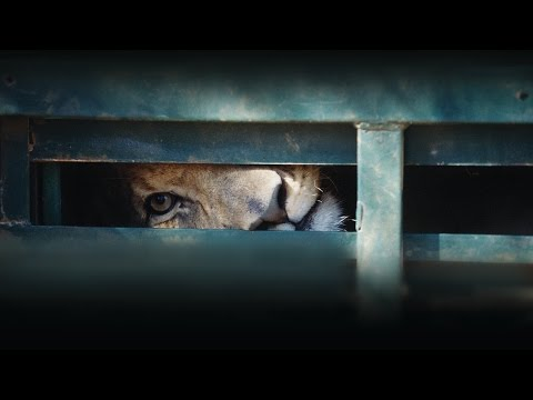 Blood Lions - Canned Lion Hunting In South Africa [HD] ABC RN Breakfast