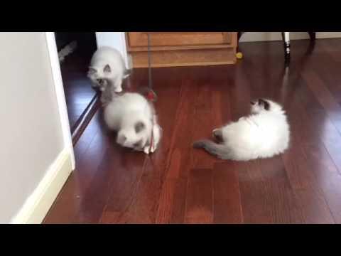 Birman Kittens Having Fun