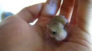the cutest baby hamster you ve ever seen