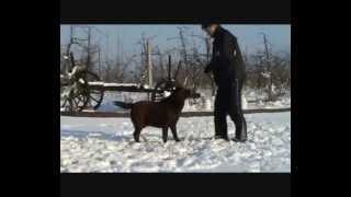 Labrador Retriever  Reproduktor  Al Grom My Name Is Bond
