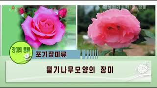 [북한 영상] 다양한 종류의 장미