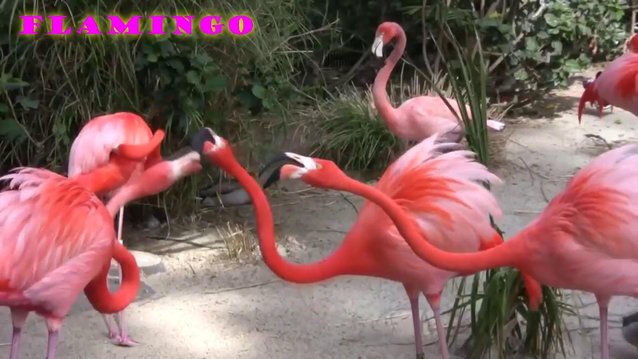 Wow Cantiknya Burung Flamingo Youtube