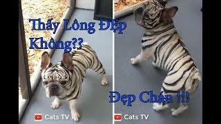Tik tok nhộm lông bạch hổ cho pug cool ngầu | chó mèo hài hước - cats tv