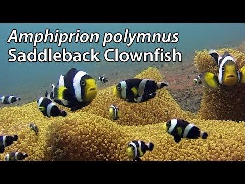 Saddleback Clownfish (Amphiprion Polymnus) Stock Footage - PAL DV
