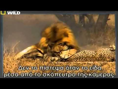 Hai con sư tử hung hãn xẻ thịt báo đốm