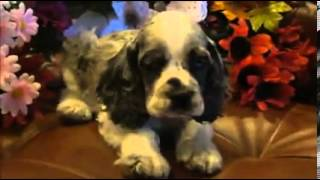 Female Blue Merle Tri-color Cocker Spaniel Puppy