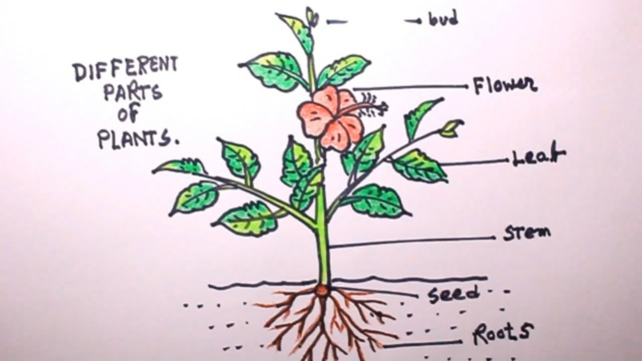 How TO Draw a plant/draw parts of plant/plant drawing ...