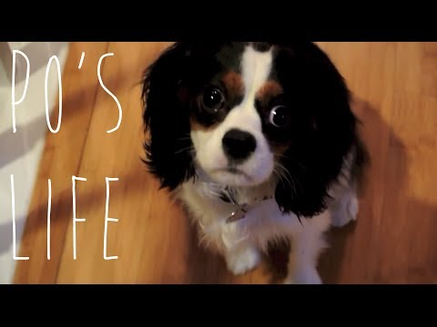 The Daily Life of Po the Cavalier King Charles Spaniel Puppy