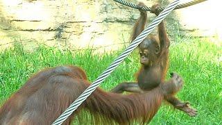 ホッピー、ロープを渡る練習・オランウータン