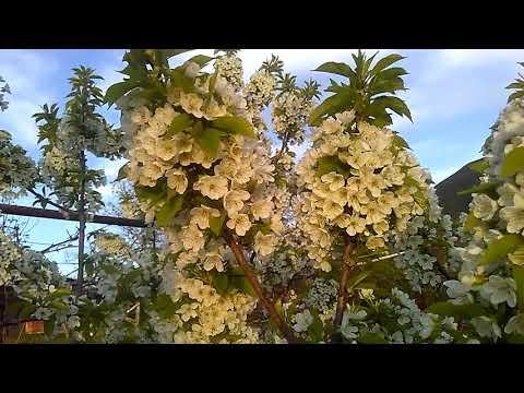 Цветут сады Армении, май 2019