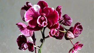 КАМЕННАЯ РОЗА Фаленопсис Phal Chiada Stacy Chocolate Drop характеристика сорта и примеры цветения