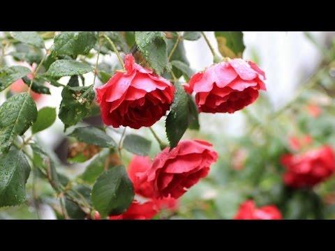Как посадить розы из БУКЕТА черенками YouTube