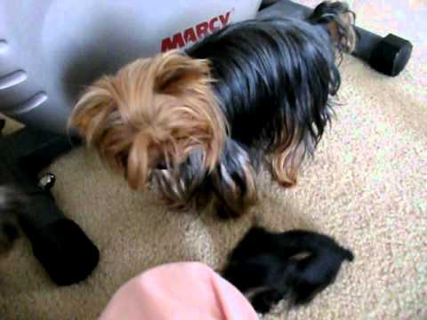 Priceless Yorkie Puppy Our Teacup Yorkshire Dogs & Puppies at Play