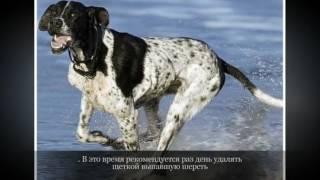 Пойнтер Крупные породы собак