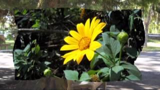 Niệm Khúc Hoa Vàng (Tác Giả: Hà Thúc Sinh - Ca Sỹ: Khánh Ly)