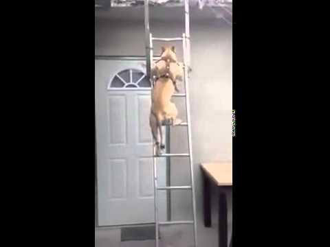 Собака спускается как человек с лестницы