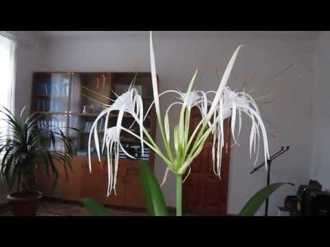 Гименокаллис прекрасный (H. speciosa) — «лилия паук», ребуция