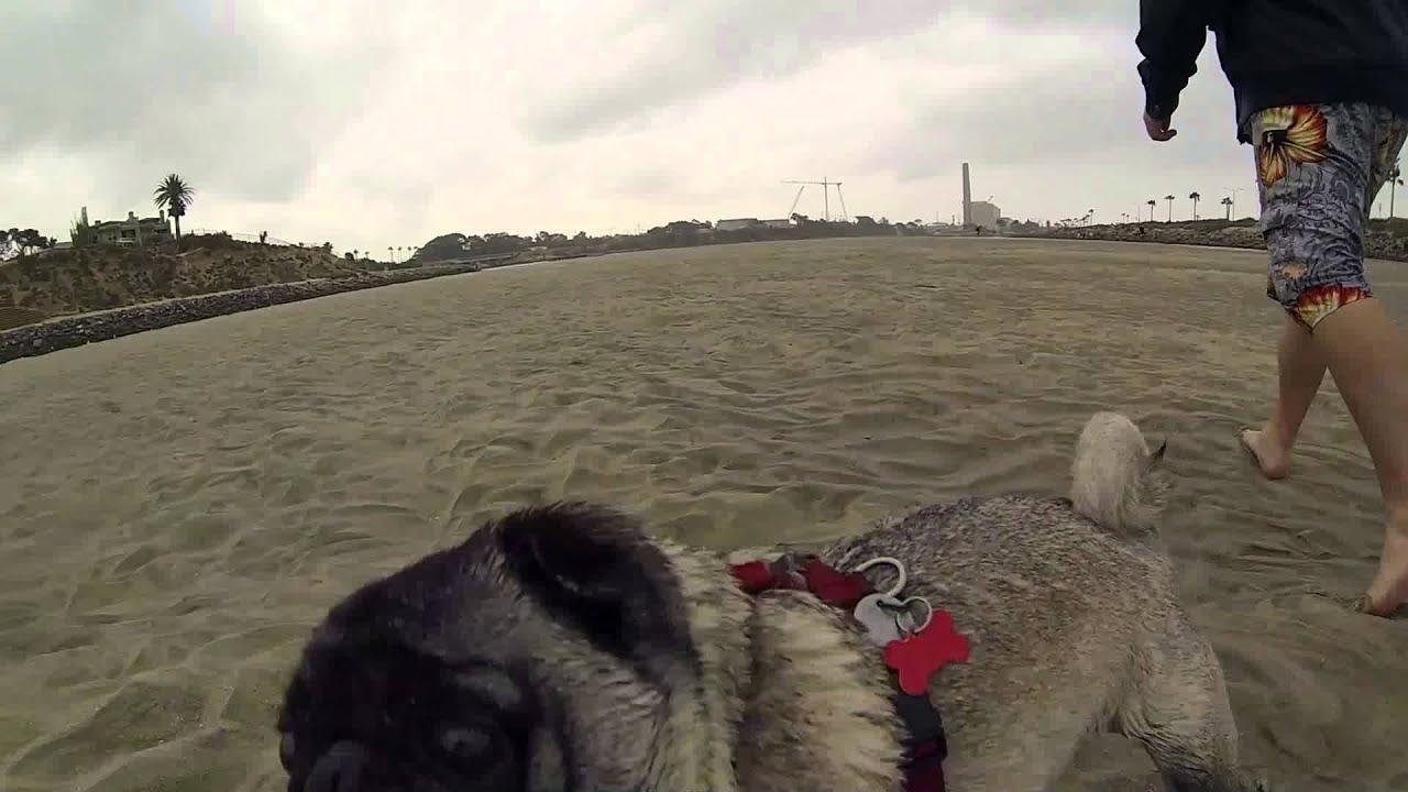 Gopro Pug Playing At Carlsbad Lagoon Youtube