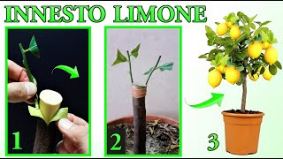 LEMON GRAFT, VERY EASY, ALL STEPS,