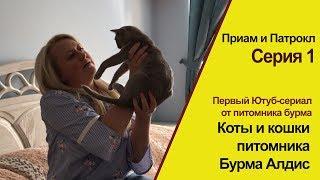 🐱 Коты и кошки питомника бурма. Серия 1. Приам и Патрокл