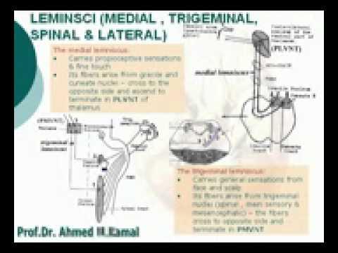 32  Lemnisci Medial, trigeminal   ) Azharmedicine com