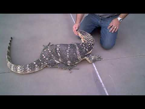 Image result for images of water monitor