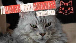 #MaineCoonMondays – Episode 144