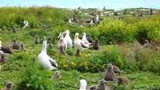Short-tailed Albatross - Midway Atoll