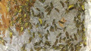 yellow-jackets-massive-nest-removal-infestation
