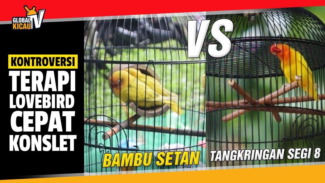 Kontroversi Terapi Bambu Setan Atau Tangkringan Segi 8 Bikin Lovebird Konslet Youtube