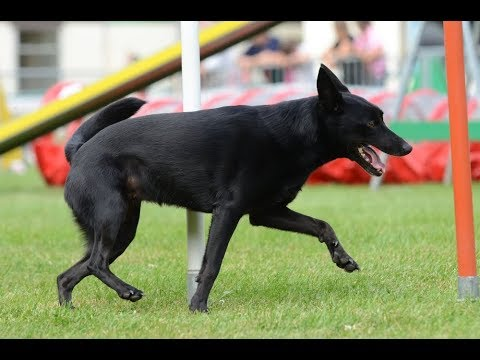 Border/Kelpie agility training