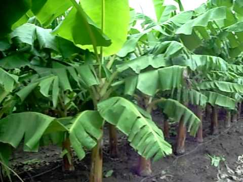 how plantains are grown youtube
