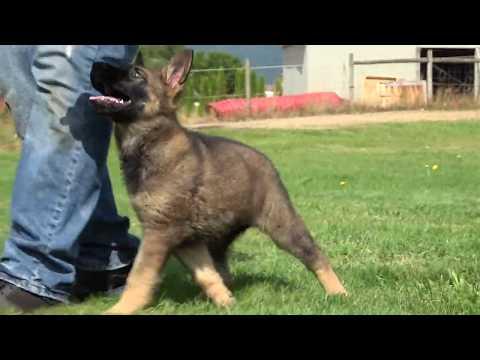Kraftwerk K9 German Shepherd Puppy obedience training at 9 weeks old!