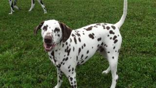 Rare Brown Spotted Dalmation