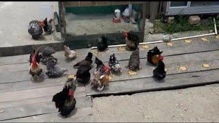 serunya berternak ayam kate -- kandang abang kate kendari