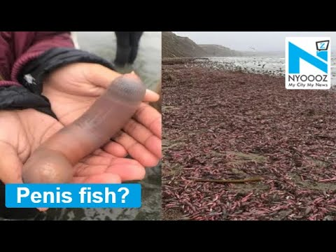 Bill Cunningham - Thousands of 'Penis Fish' Washed Up on a Beach in Northern California