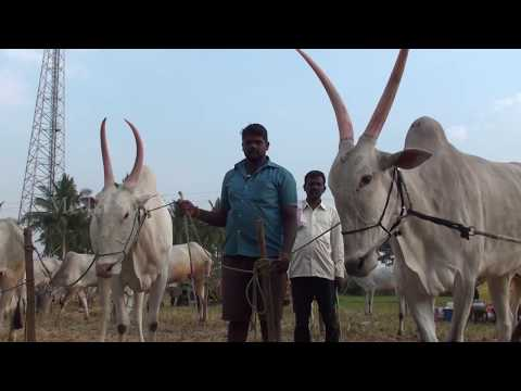 Cattle fairs in Mysore region