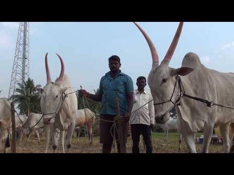 Cattle fairs in Mysore region