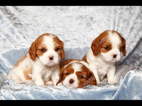 So Cute  Cavalier King Charles Spaniel Puppies  Funny Dogs Compilation