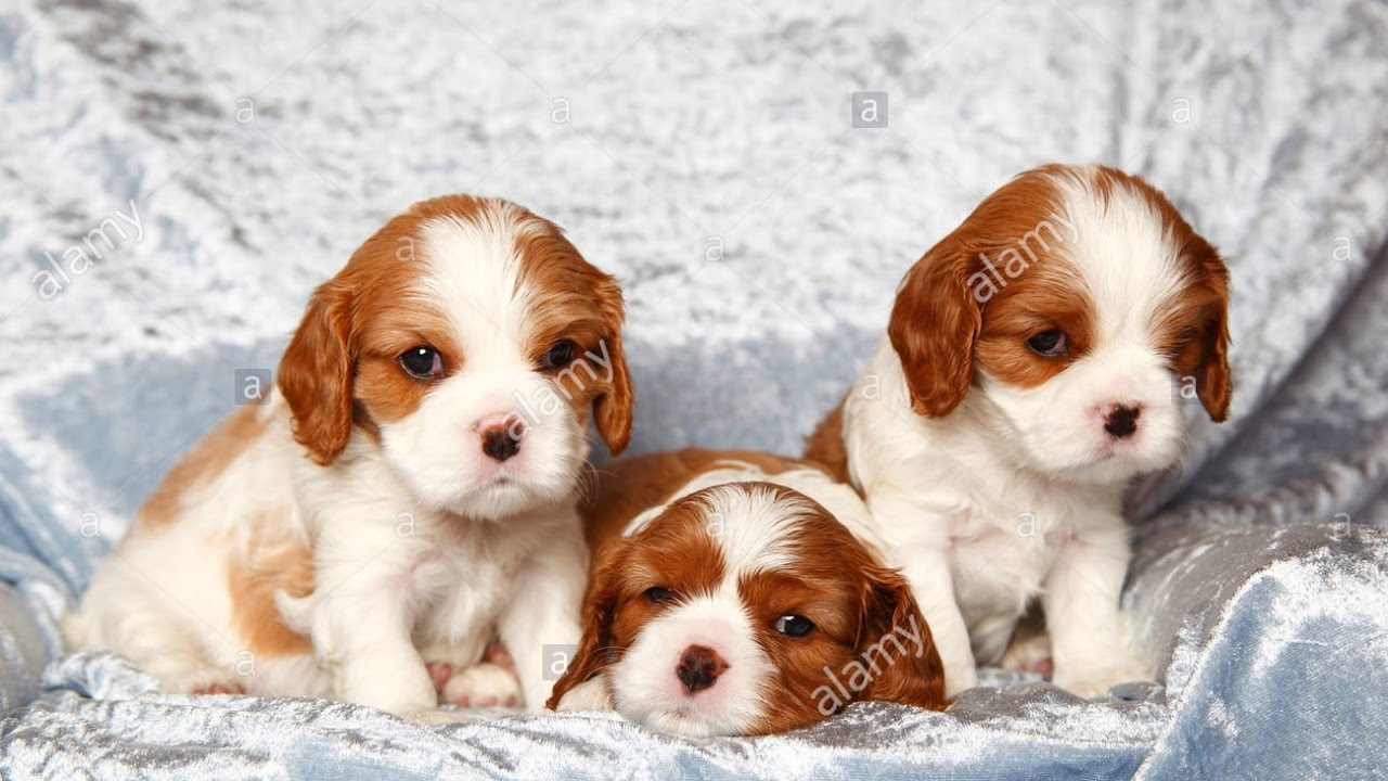 So cute cavalier king charles spaniel puppies funny dogs so cute cavalier king charles spaniel puppies funny dogs compilation thecheapjerseys Image collections