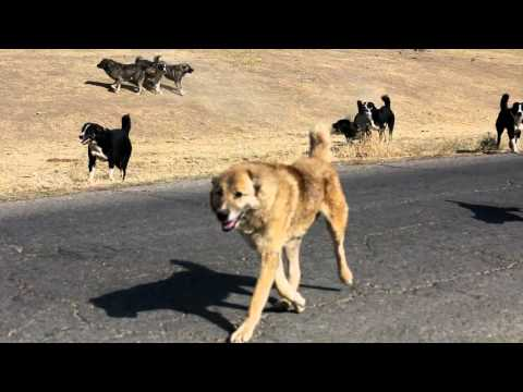 A fight between Tajik shepherd dogs