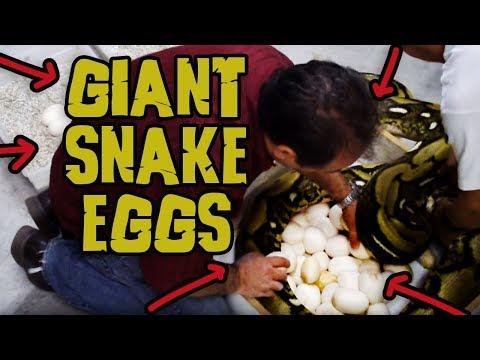 Behind the Scenes Harvesting Gigantic Python Eggs!