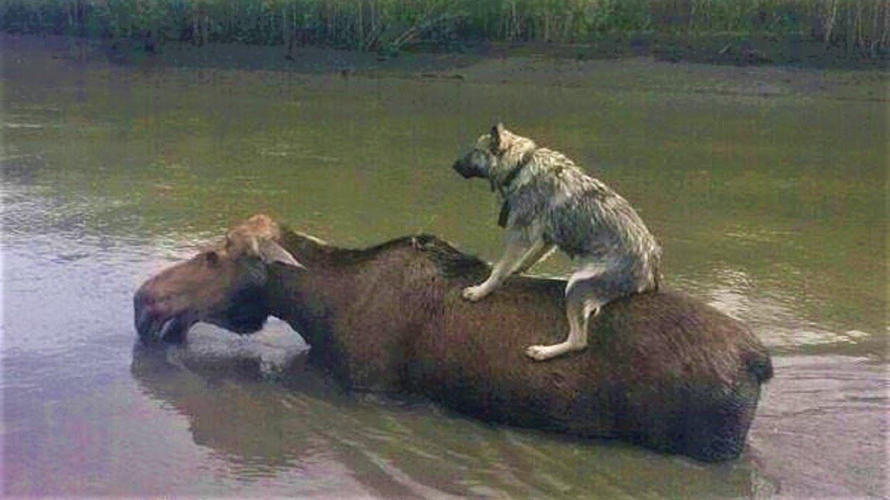 (VIDEO) - Животните се спасяват един друг. Изненадващи случаи на взаимопомощ между животните!