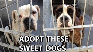 [adopted] Bulldog And Boxer Found In Los Angeles Need Homes!