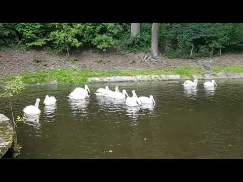A group of Eastern white pelicans