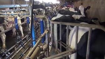 Les différents systèmes de traite (des vaches laitières)