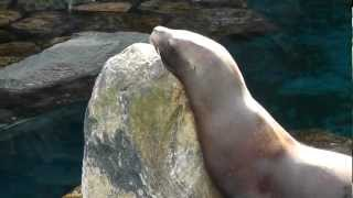 On Location: The Steller Sea Lion