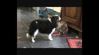 Grooming A Cavalier King Charles Spaniel
