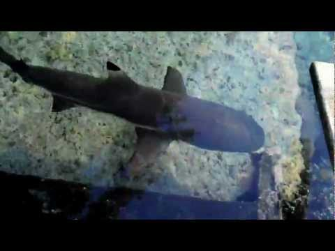 Uepi Resort Solomon Islands - Shark swimming near Wharf